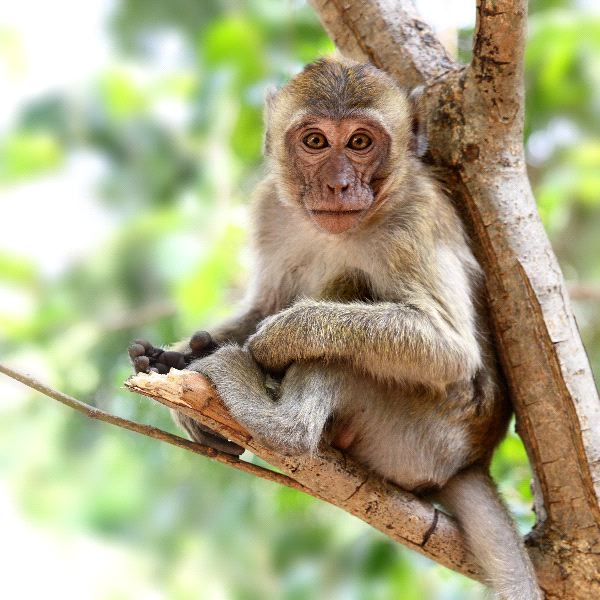 Rhesus_Macaque_Monkey_Sitting_On_A_Tree_600